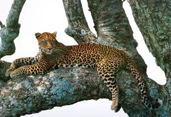 Leopard-1
