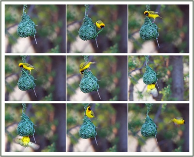 Weaver Bird Collage - Blog