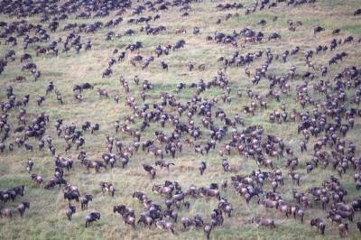 Wildebeest Heard